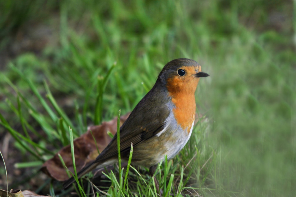 oiseaux jardin nature le rouge-gorge au sol dans l'herbe à l'automne