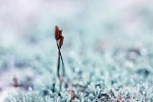 Enlacées - macrophotographie de sporogone de mousse - Agnès Briand Photographe